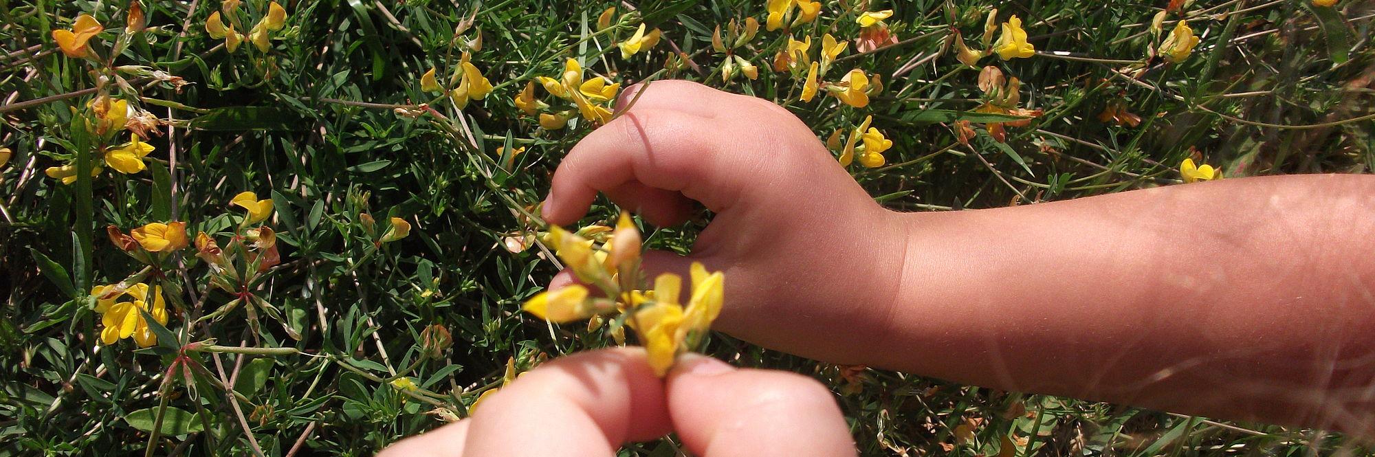 foto con le mani di una bambina che raccoglie i fiori gialli in giardino